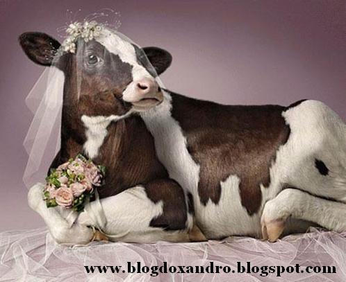[vaca-noiva.jpg]