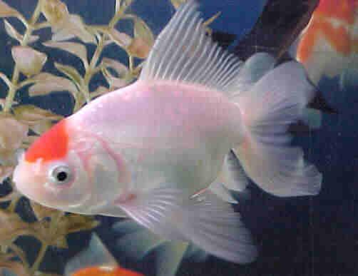 Producci n sostenible de peces ornamentales for Peces ornamentales