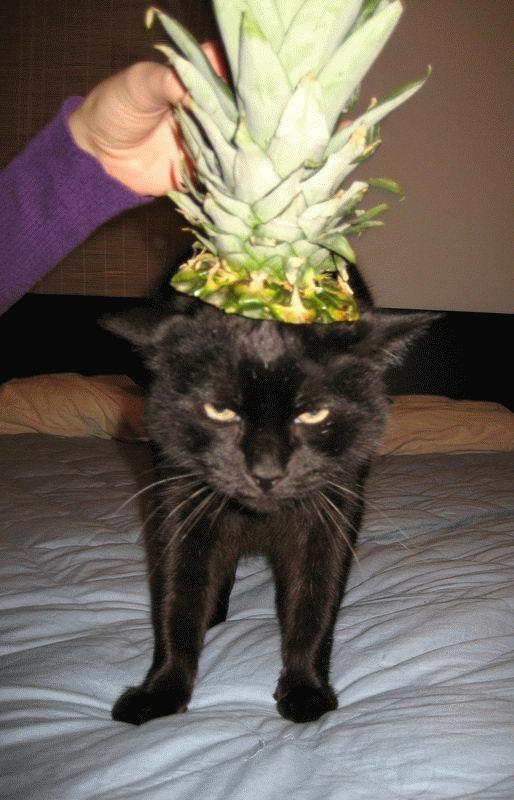 gato com abacaxi na cabeça