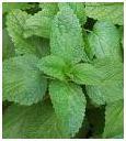 Lemon Balm herb photo