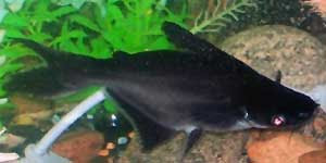 Aquarium shark catfish - photo#11