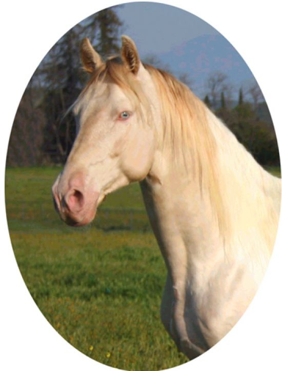Perlino quarter horse stallion - photo#21
