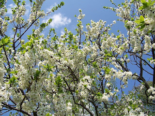 Plum flowers in Penne d'Agenais
