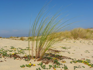 Marram grass and buckwheat