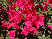 Southern Spring = Azaleas