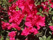 Southern Spring = Azaleas