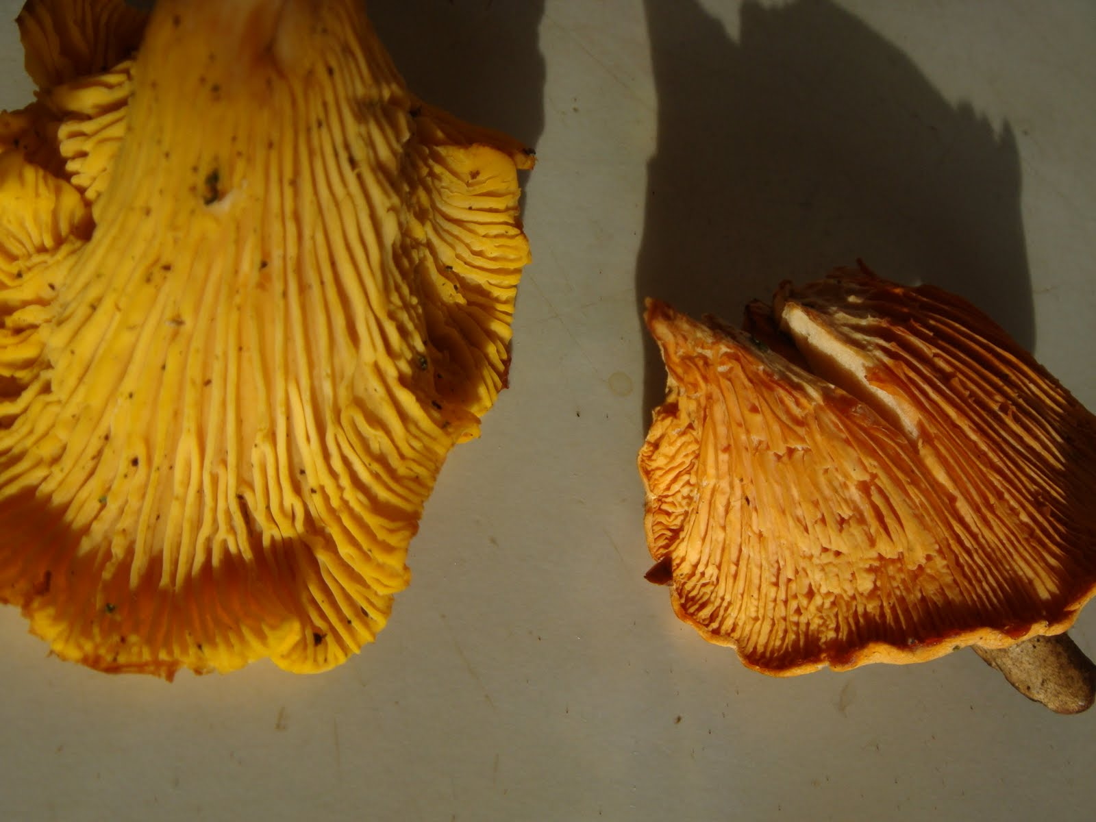 The Sunday Roaster Wild Mushroom Foraging How To Tell