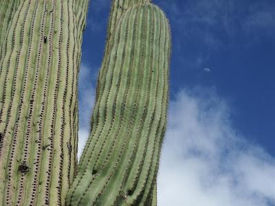 saguaro cactus, arizona, moon