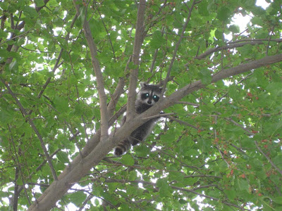 raccoon up in a tree, baby raccoon