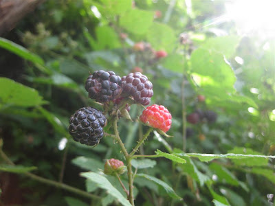 blackerries in pennsylvania, wild blackberries, bush, juicy