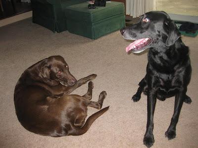 max and jade, labrador retrievers,