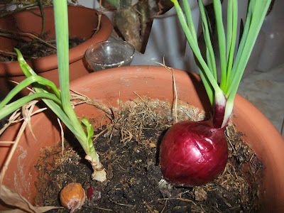 how to grow an onion plant, indoors