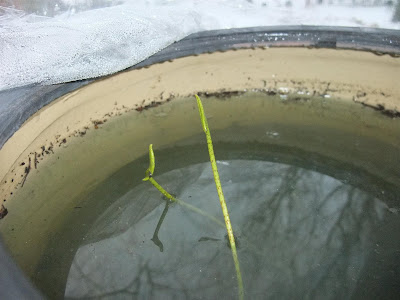 lotus growing in bowl of water and mud