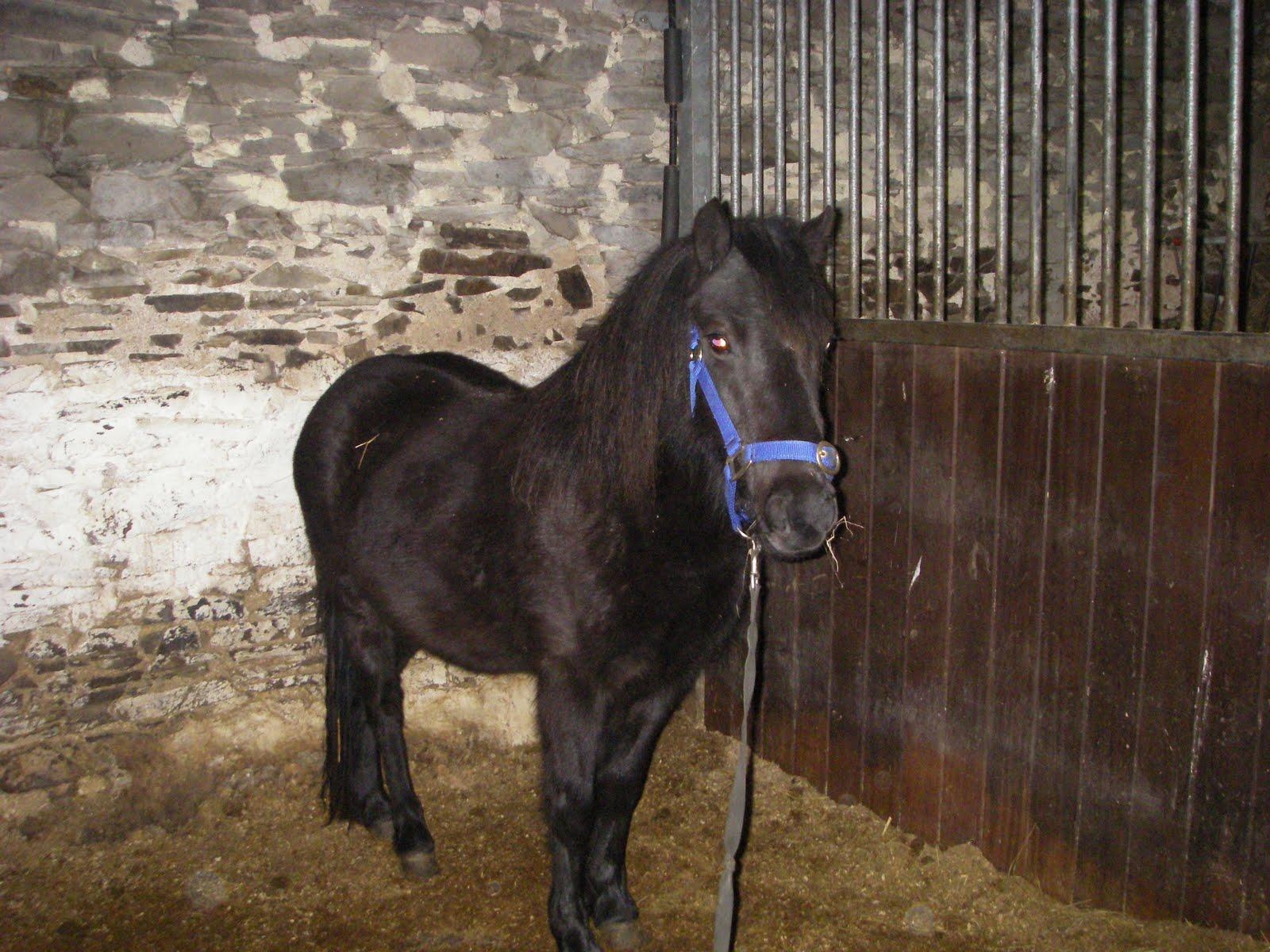 dartmoor pony sales list