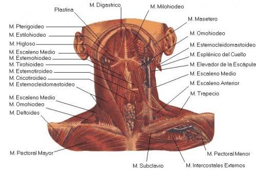 fisioterapia.patricia: Músculo Cuello