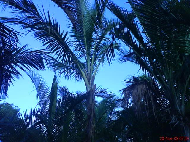 pokok rumbia