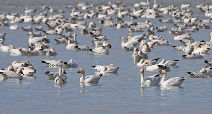 prairie ice freezout lake snow geese. Black Bedroom Furniture Sets. Home Design Ideas