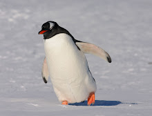 Gentoo Penguin