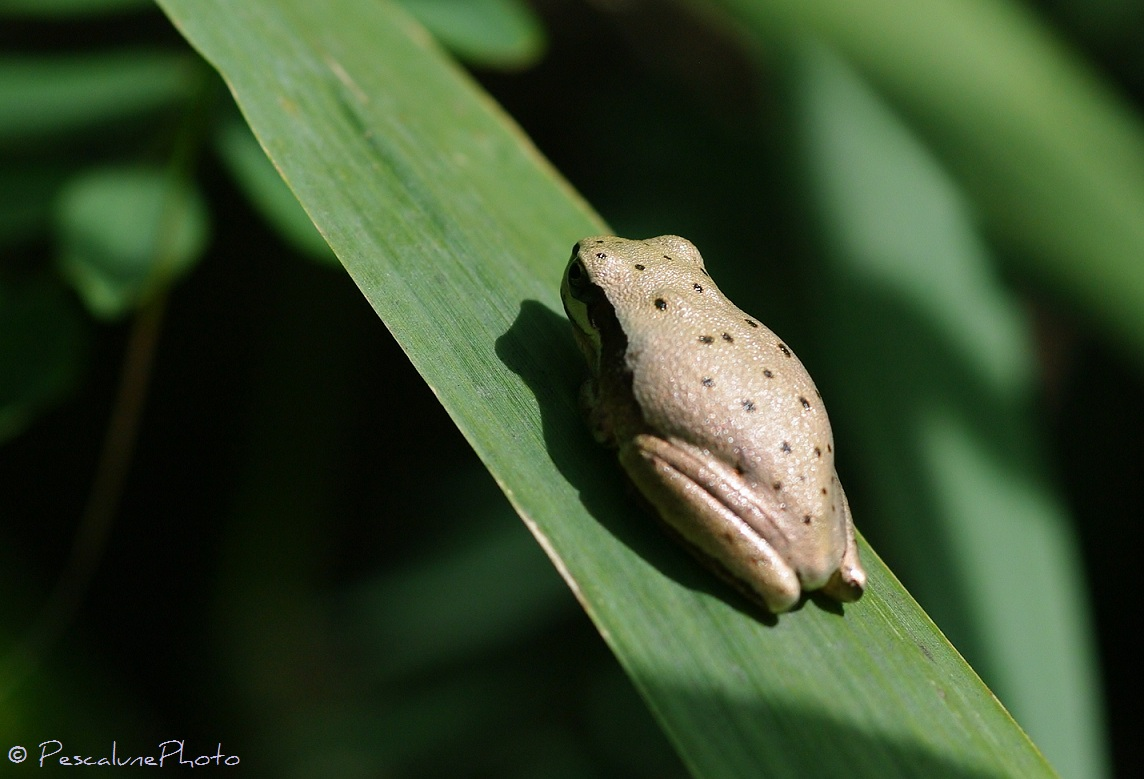 A White Mediterranean Tree frog (Hyla meridionalis)