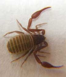 pseudoscorpion insect