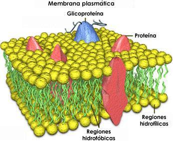 external image membrana.jpg
