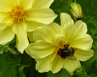 Bee feeding on a yellow flower