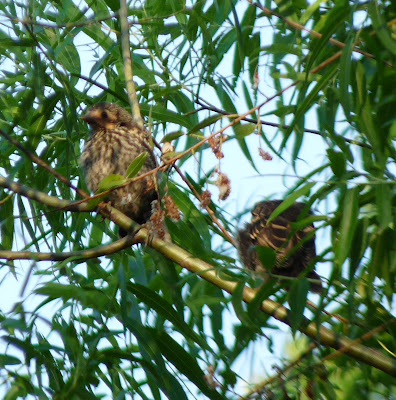 three juveniles redwing