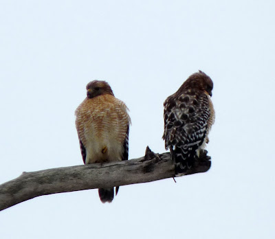 pair of red-shouldered hawks at noon