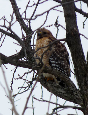 female red-shouldered hawk in tree
