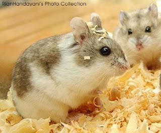Gambar dan jenis jenis hamster