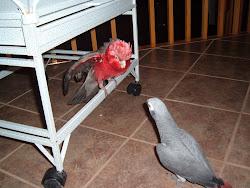 Mes deux perroquets gris d'afrique et un cacatoese rosalbain