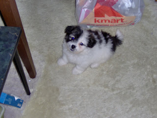 Nisie as a puppy 1