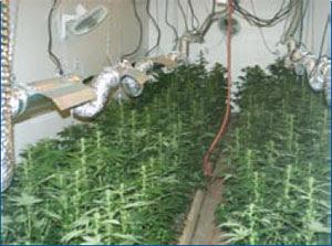 Growing Marijuana 101 - How to Grow Weed Indoors