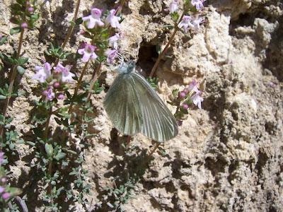 Papillon Piéride du navet (Pieris napi)