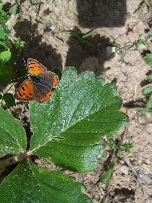Papillon cuivré commun ou bronzé (Lycaena phlaeas)