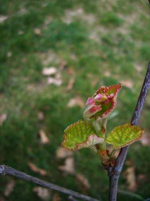 Premières feuilles de vigne
