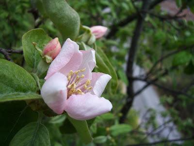 Fleur de cognassier de mon jardin