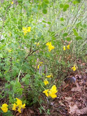Fleurs de Cytise