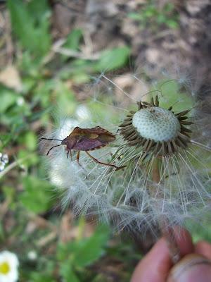 Punaise sur fleur de pissenlit
