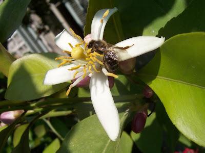 Abeille sur fleur de citronnier de mon jardin