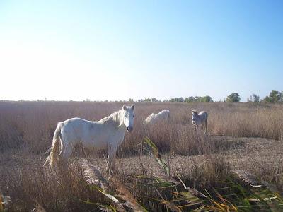 Chevaux camarguais dans les rizières après la moisson
