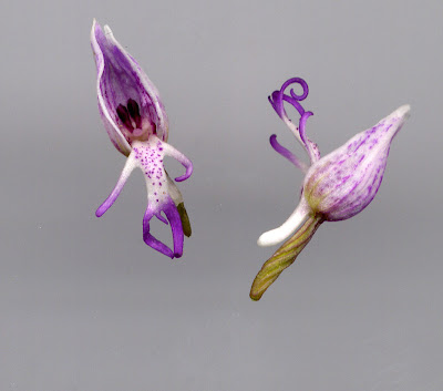 Fleur d'orchidée : orchis singe - détail