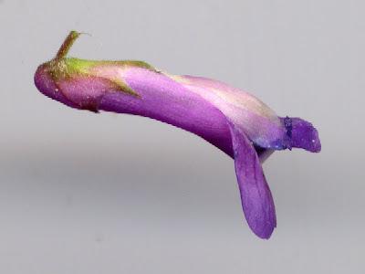 Fleur de Grande vesce