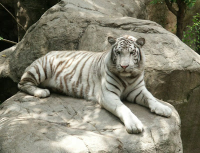 deformed white tiger pictures. the White Bengal Tiger.