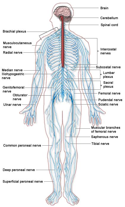 human-nervous-system.png