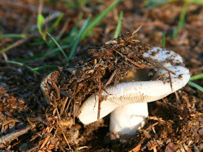 Mushroom Under Oak