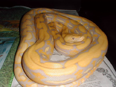 Lavender Albino Python (Female - Endangered Animals - Extinct Animals