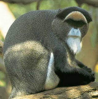 Monkey Debrazzas - Endangered Animals - Extinct Animals
