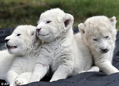 Son of the White Lion (White Lion Cubs)- Endangered Animals - Extinct Animals