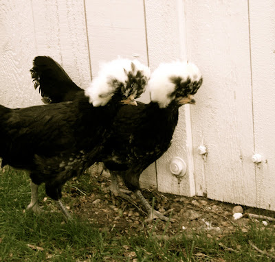 White Polish Crested Chickens